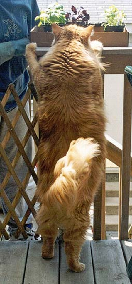 Giant Maine Coon Cats Uk