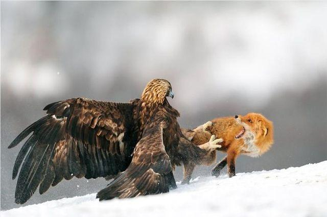 Adlerangriff Adler greift Fuchs an eagle attacks fox Adlerattacke 1