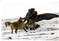Adlerangriff Adler greift Fuchs an eagle attacks fox Adlerattacke 9
