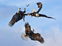 Adlerangriff Adler greifen Vogel eagles attack bird Adlerattacke 1