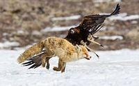 Adlerangriff Adler greift Fuchs an eagle attacks fox Adlerattacke 2