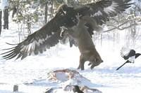 Adlerangriff Adler greift Fuchs an eagle attacks fox Adlerattacke 5