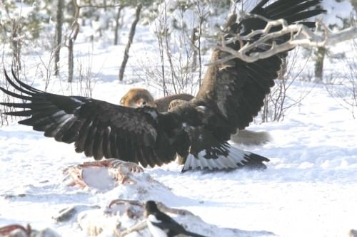Adlerangriff - Adler greift Fuchs an - eagle attacks fox - Adlerattacke