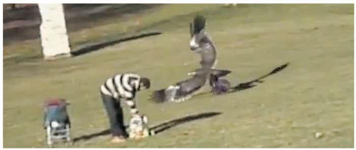 Adlerangriff - Adler greift Mensch an - eagle attacks human - Adlerattacke