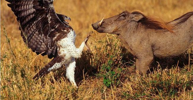 Adlerangriff - Adler greift Warzenschwein an - eagle attacks warthog - Adlerattacke
