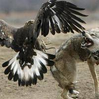 Adlerangriff - Adler greift Wolf an - eagle attacks wolf - Adlerattacke