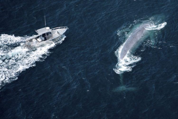 Blauwal - Blue Whale - das größte Tier aller Zeiten