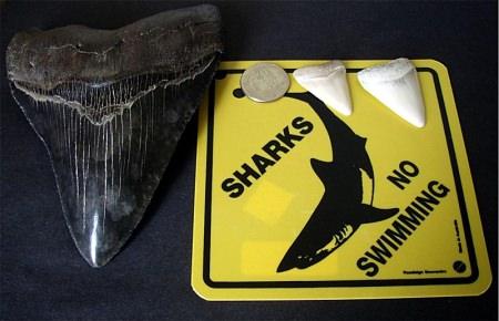 Megalodon - größter Hai - größter Fisch der Welt - Zähne - Zahn