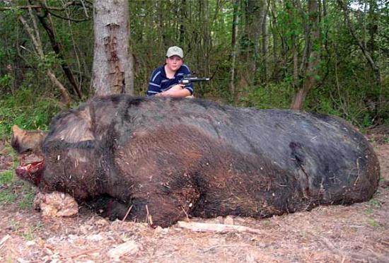 Riesen Wildschwein - das größte Wildschwein der Welt