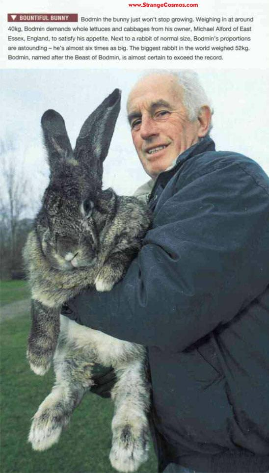 Riesen Hase - Giant Rabbit - der größte Hase der Welt