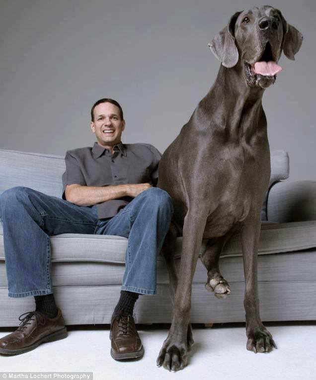 Riesenhunde - Riesenhund - großer Hund - die größten Hunde der Welt - Deutsche Dogge