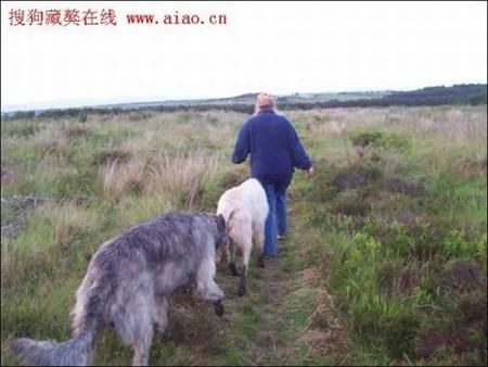 Riesenhunde - Riesenhund - großer Hund - die größten Hunde der Welt - Irischer Wolfshund
