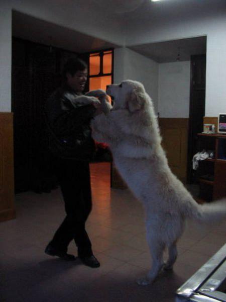 Riesenhunde - Riesenhund - großer Hund - die größten Hunde der Welt