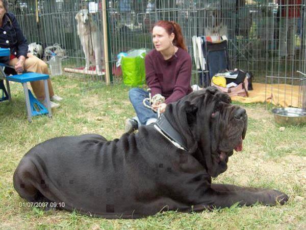 Riesenhunde - Riesenhund - großer Hund - die größten Hunde der Welt - Mastino Napoletano