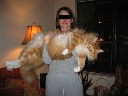 Maine-Coone-Katze - Riesenkatzen - die groessten Hauskatzen der Welt
