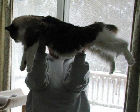 Ragdoll-Katze - Riesenkatzen - die groessten Hauskatzen der Welt