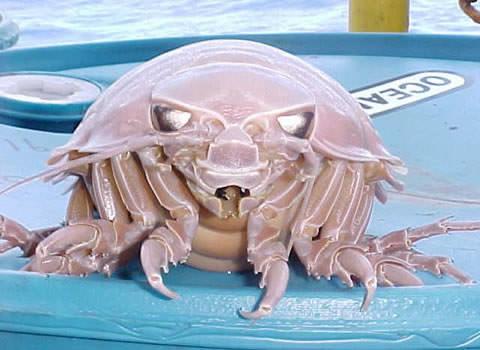 Riesenasseln - Giant Isopod