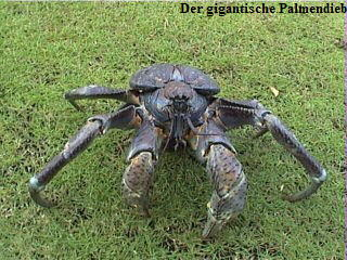 Riesenkrabben - Riesenkrebse - Monsterkrabben