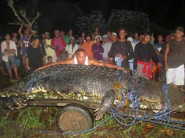 Riesenkrokodil - groesstes Krokodil der Welt