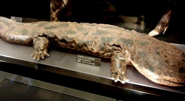 Riesenlurch, Riesensalamander, Riesen Amphibium, Riesen Schwanzlurch, Riesenmolch - das größte Amphibium der Welt