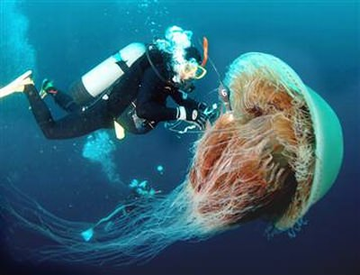 Riesenqualle - Riesen Qualle - Giant Jellyfish - Staatsqualle