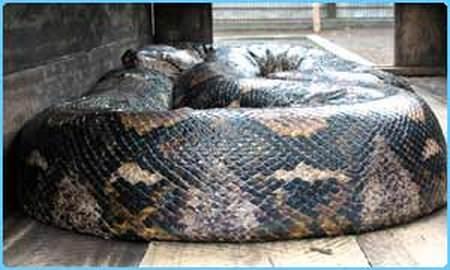 Riesenschlange - biggest snake python - Netzpython