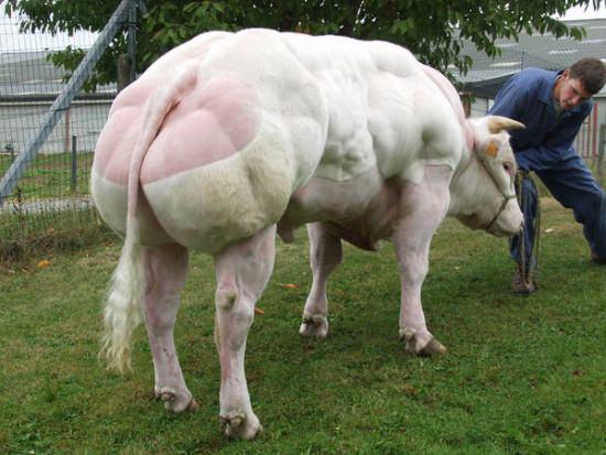 Bodybuilder Kühe