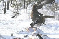 Adlerangriff Adler greift Fuchs an eagle attacks fox Adlerattacke 4