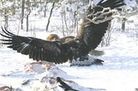 Adlerangriff Adler greift Fuchs an eagle attacks fox Adlerattacke 8