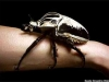 Goliath Käfer