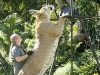 Liger - Die größte Raubkatze der Welt
