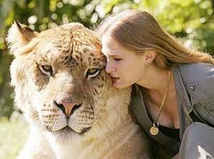 Liger - Riesenkatze - die größte Katze der Welt