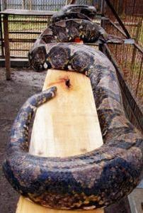 Riesenschlange - die größten und längsten Schlangen der Welt