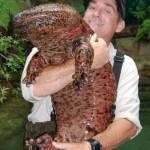 Riesenlurch, Riesensalamander, Riesen-Amphibium, Riesen-Schwanzlurch - das größte Amphibium der Welt